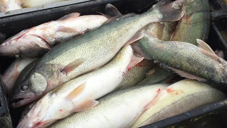 Fish trafficking: Update by Fish & Wildlife